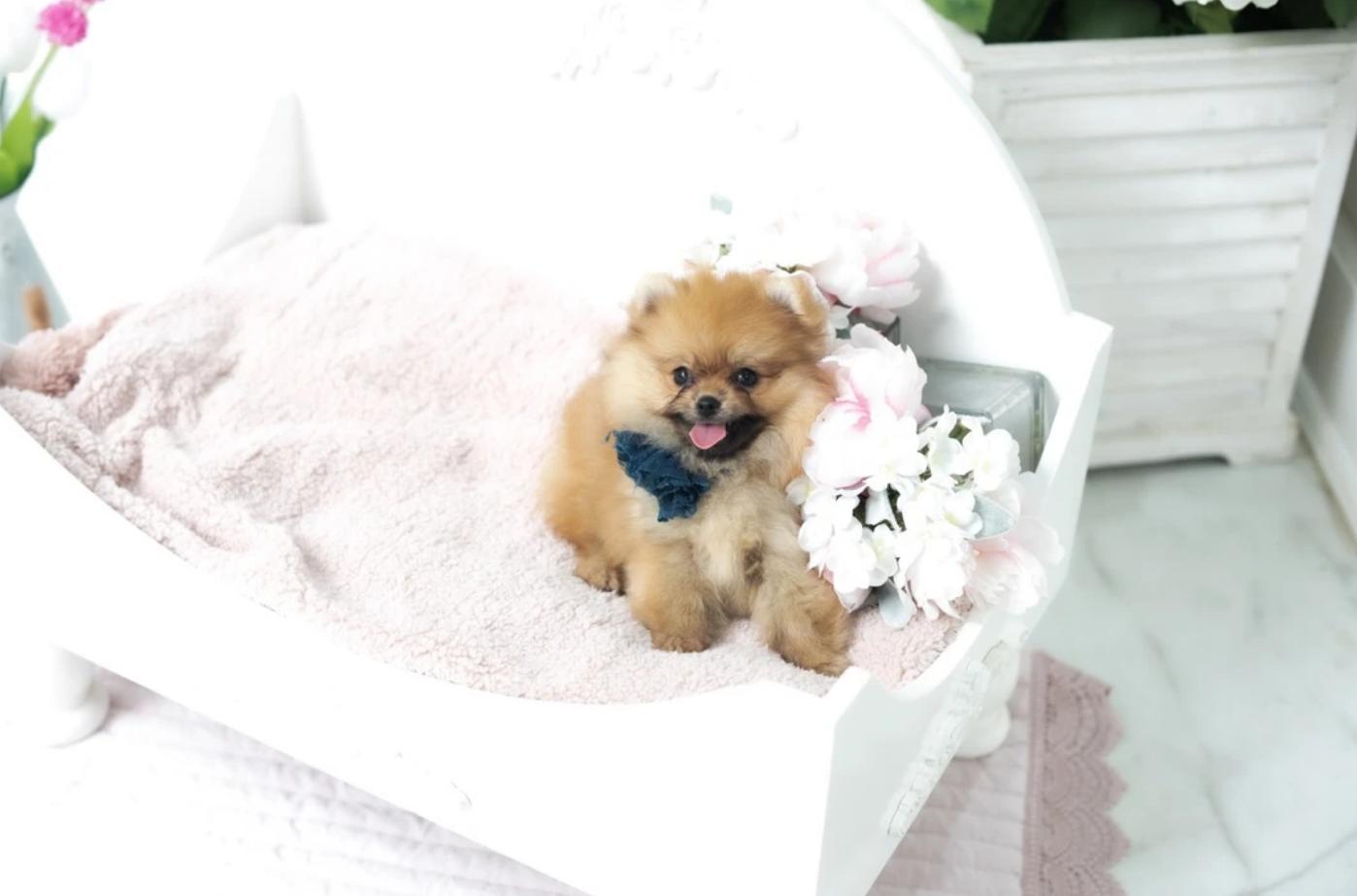 Olivia Micro Pomeranian for Sale