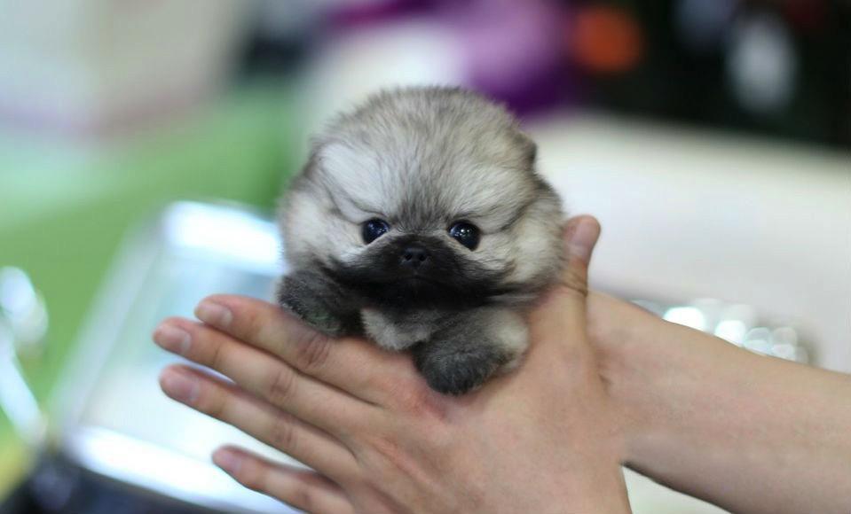 Isabella Micro Pomeranian for Sale