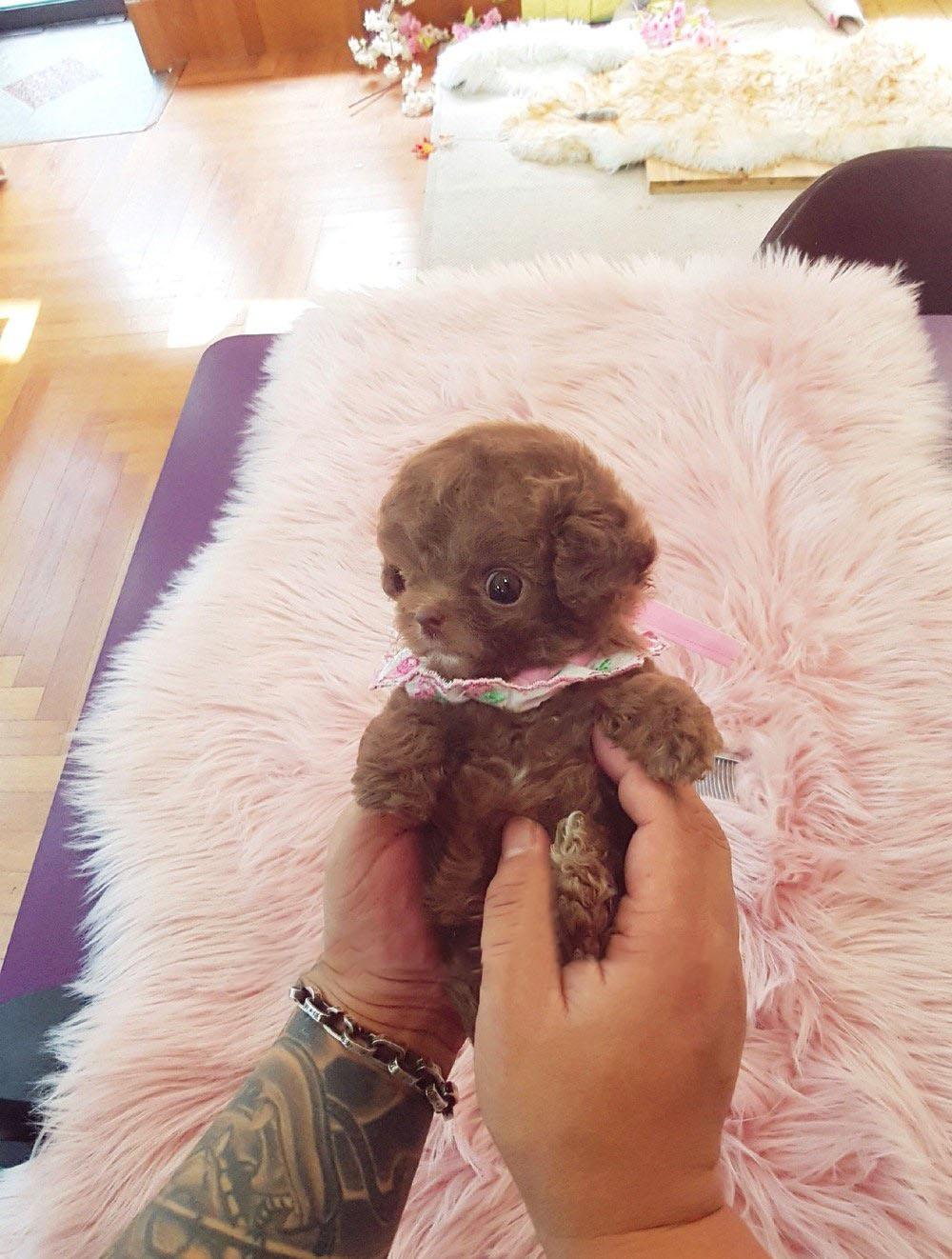 Dash Micro Poodle for Sale