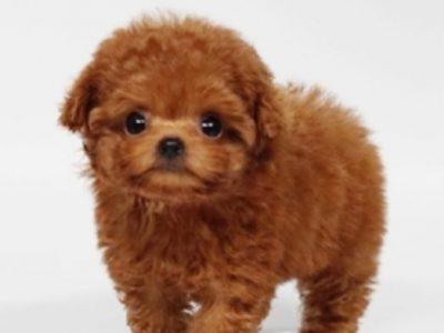 Noah ApricotMicro Poodle