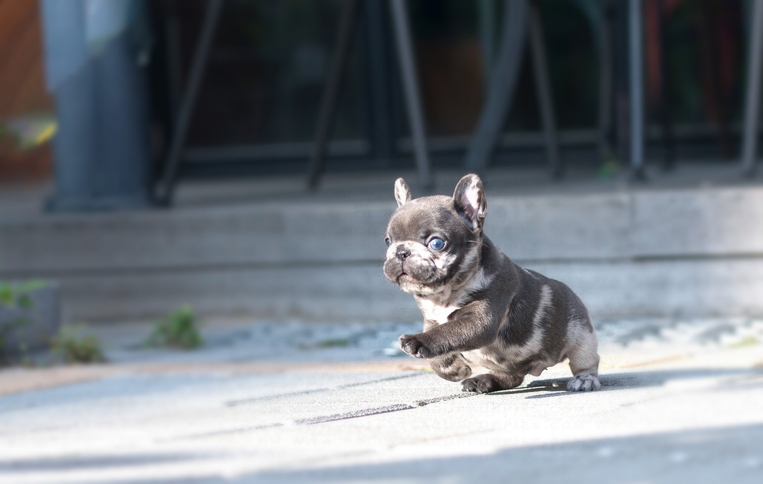 Bumble Teacup French Bulldog for Sale