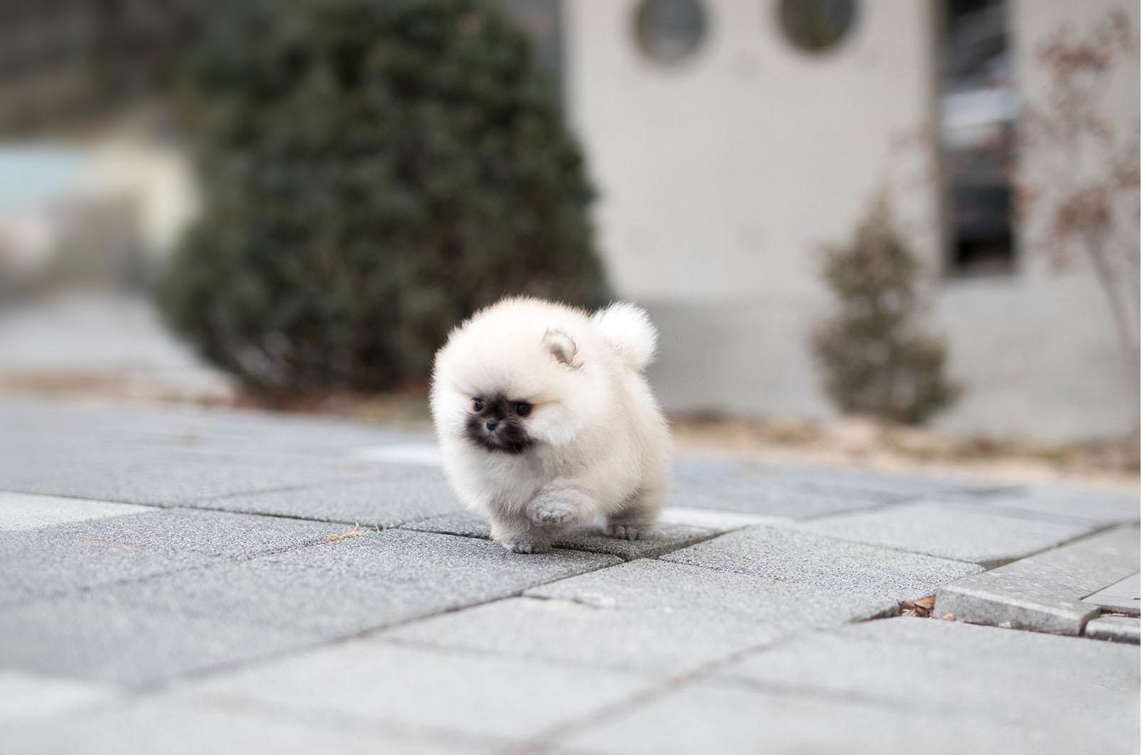 Benjamin Micro Pomeranian for Sale
