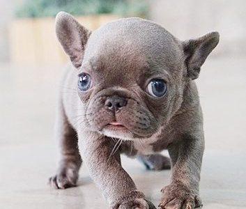 Violet BlueTeacup French Bulldog