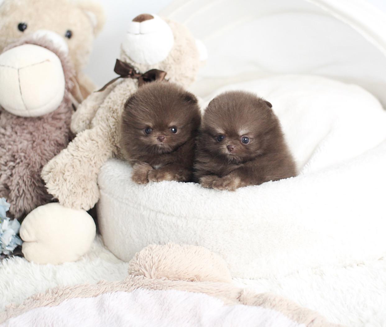 Norman Micro Pomeranian for Sale