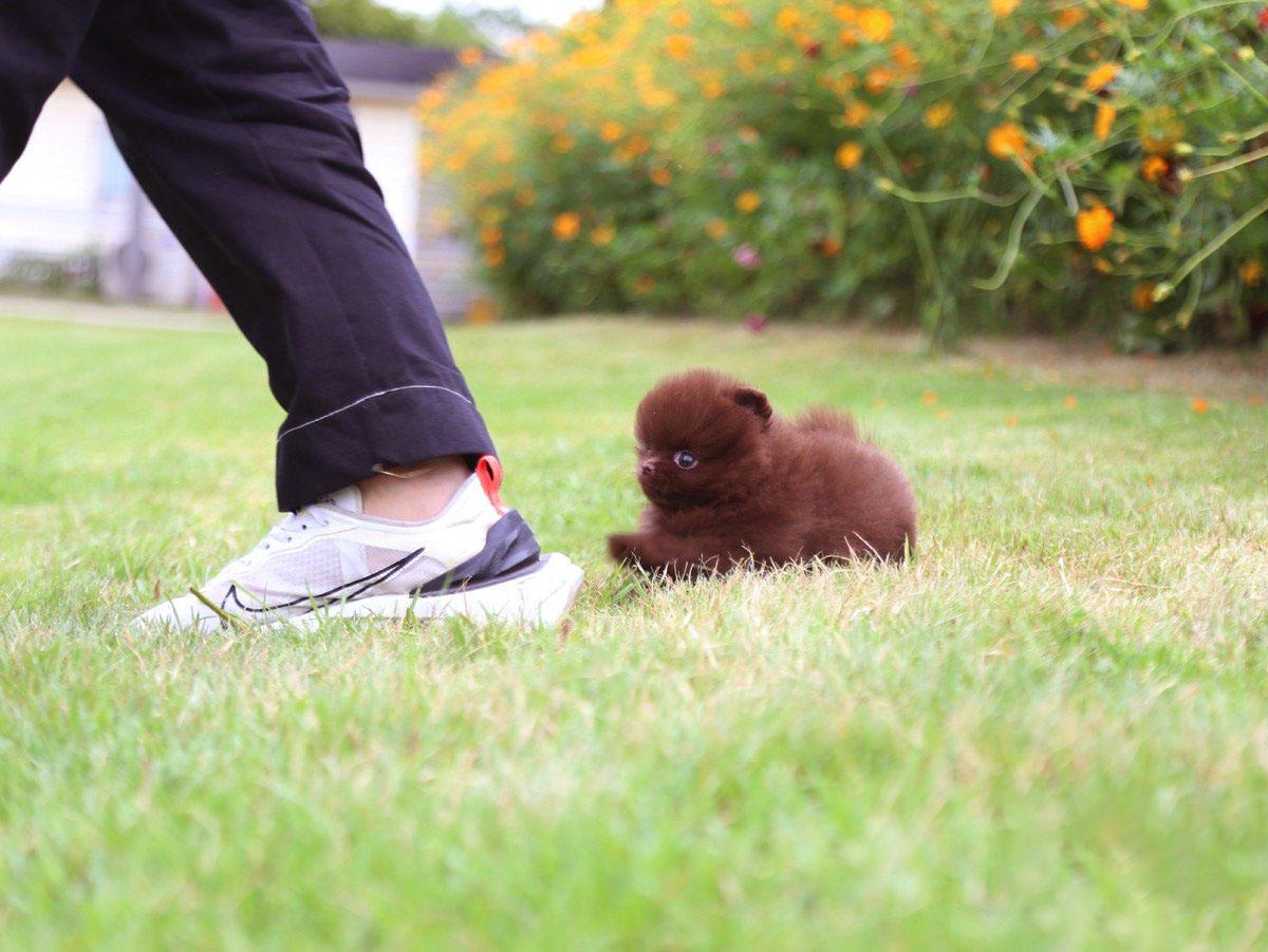 Charlotte Micro Pomeranian for Sale