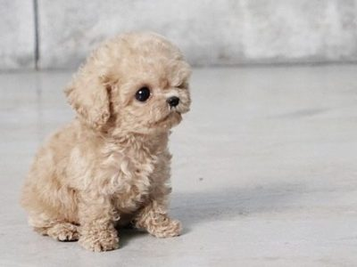 Pete CreamMicro Poodle