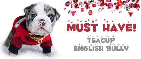 Teacup English Bulldog