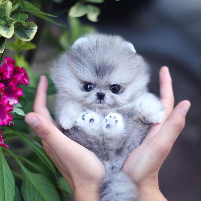 Diana Micro Pomeranian for Sale