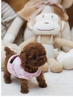 Piper Micro Poodle for Sale