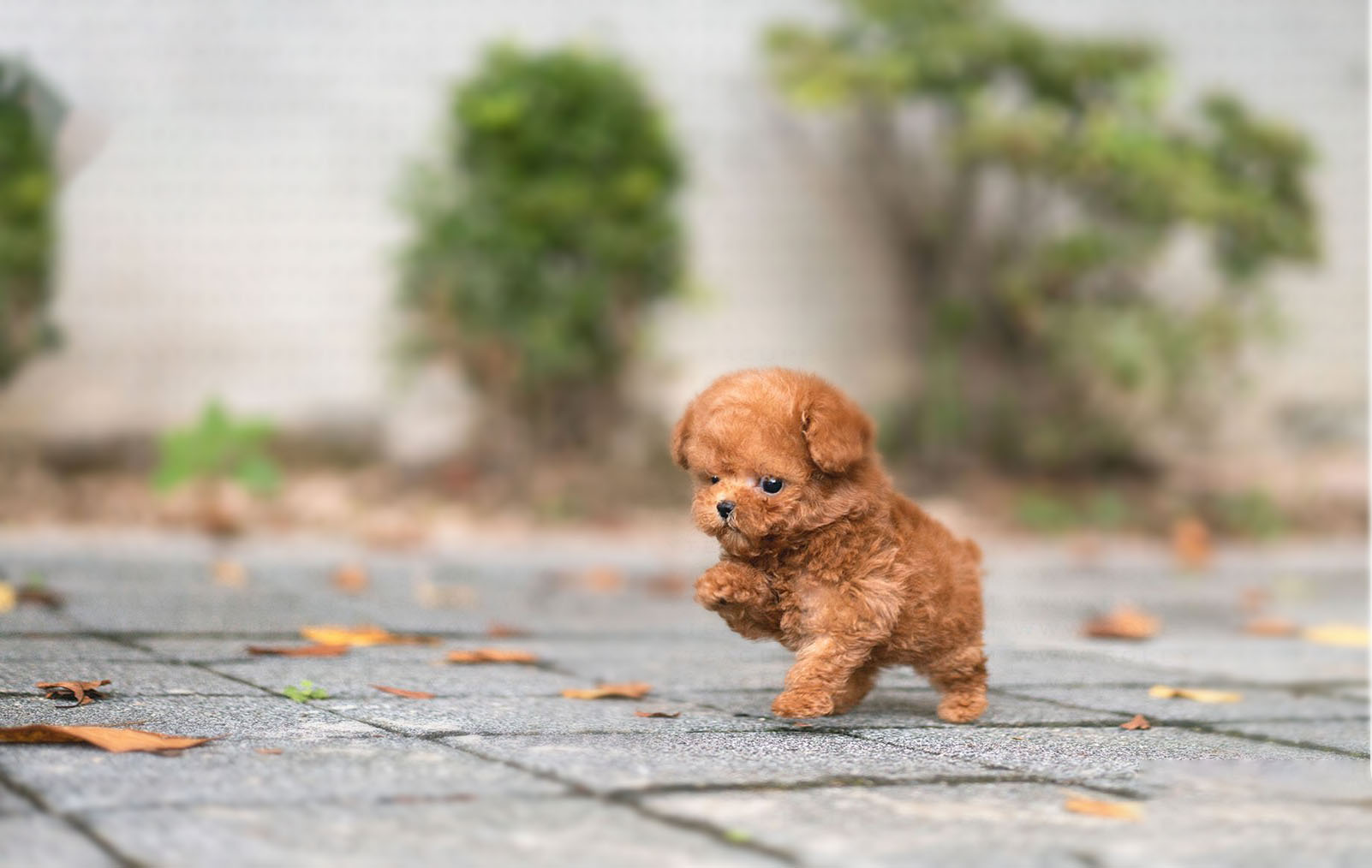 James Micro Poodle for Sale
