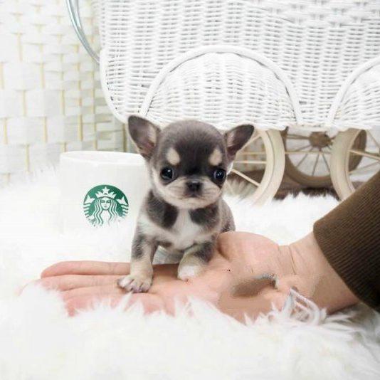 Cheeta Micro Chihuahua for Sale
