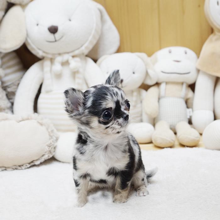 Bratz Micro Chihuahua for Sale