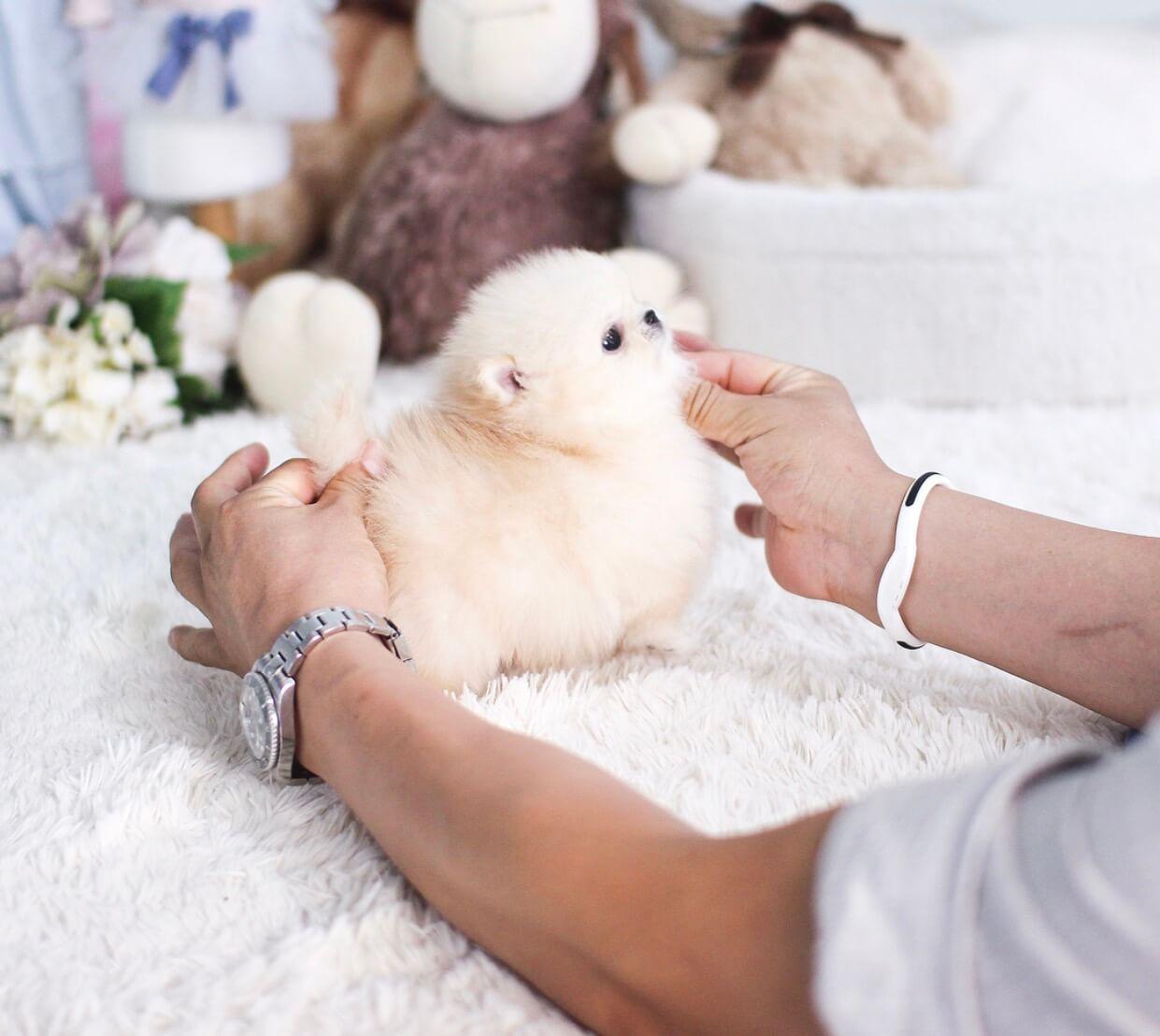 Connor Micro Pomeranian for Sale