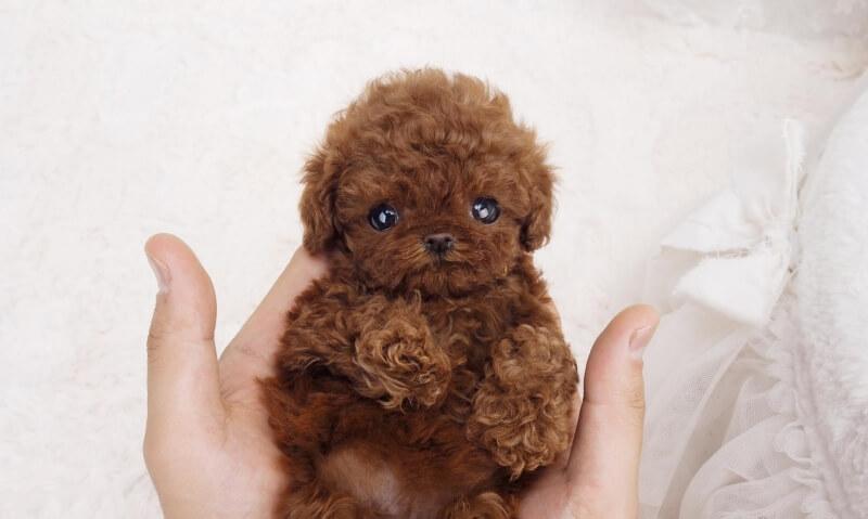 Nova Micro Poodle for Sale