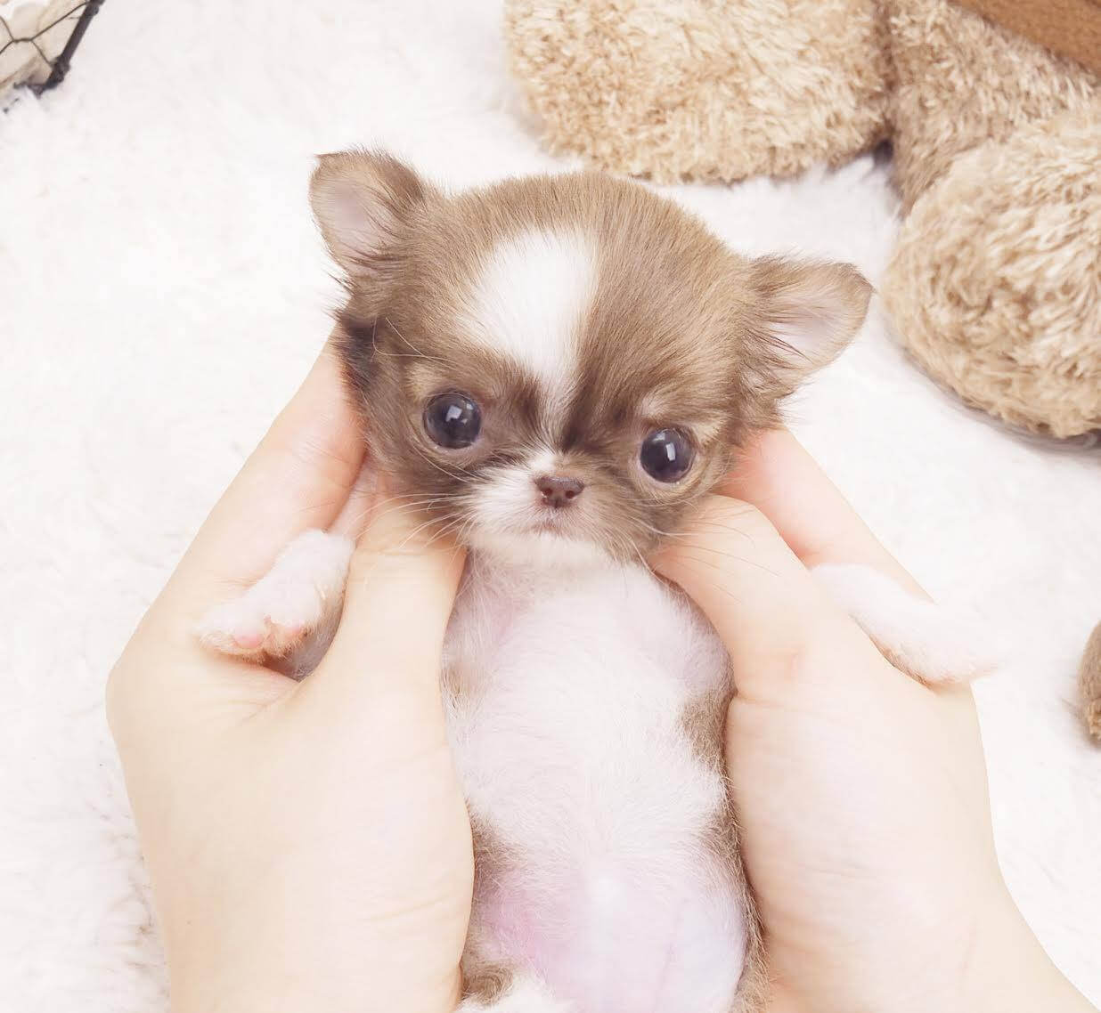 Grace Micro Chihuahua for Sale