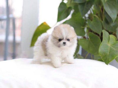 Nugget Cream SmokeMicro Pomeranian